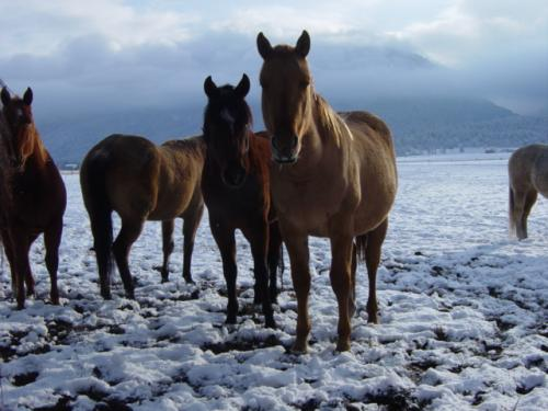 Our horses are social and want to spend time with you, greeting you as you go out into the fields.  This is Triton, Chex/Midnight lineage.  Triton has gone on to become a fantastic rope horse and has been a great financial investment to the man who bought